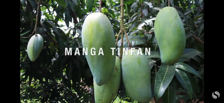 Muda de Manga Tinfan Gigante - Excelente Frutífera