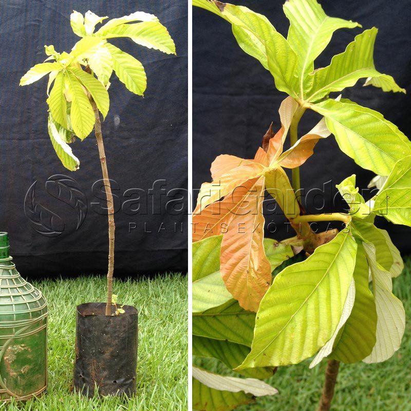 Muda de Mapati - Uva da Amazônia