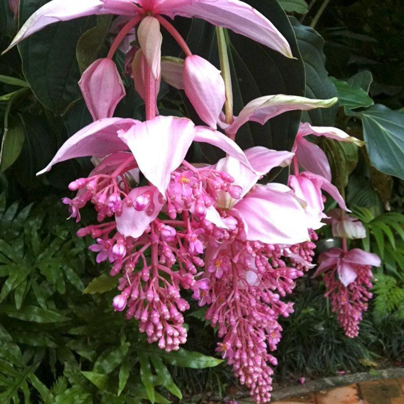 Mudas de Medinila Magnífica - Uva Rosa - Medinilla Magnifica - Já florem