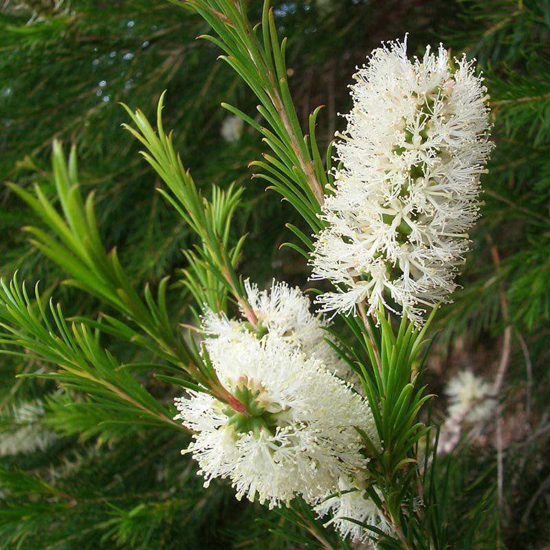 Muda de Melaleuca Alternifolia