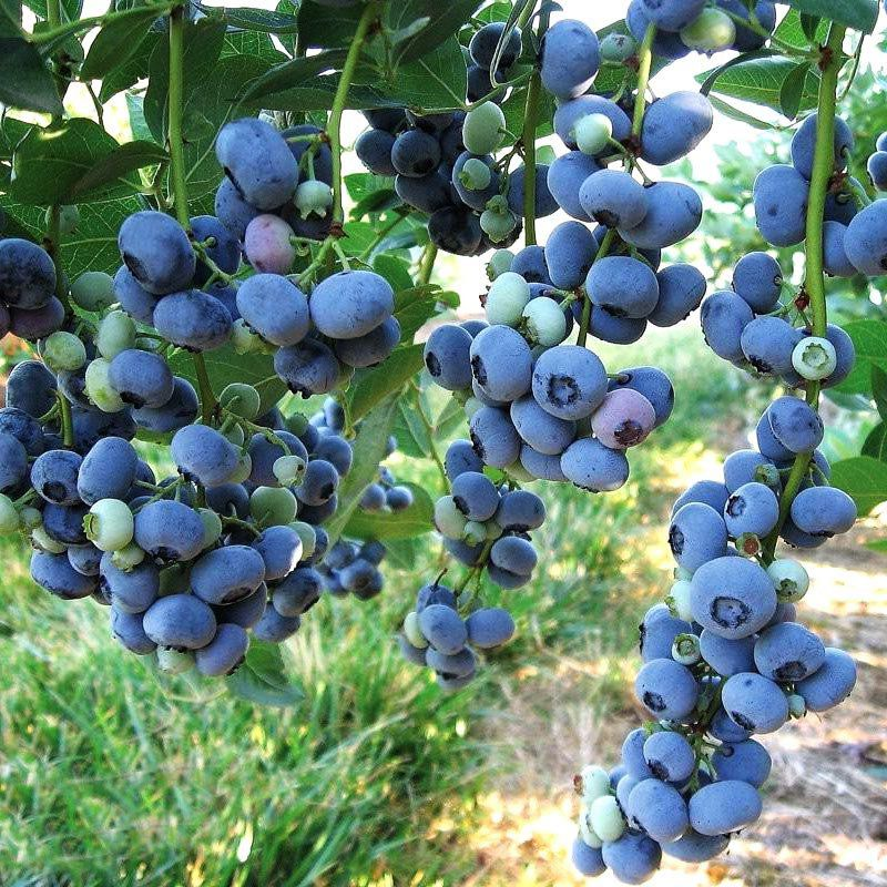Muda de Mirtilo - BlueBerry