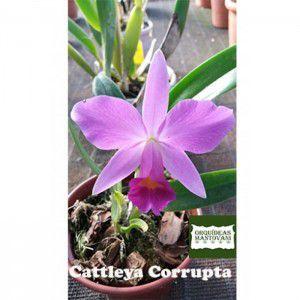 Muda de Oquídea Cattleya Corrupta