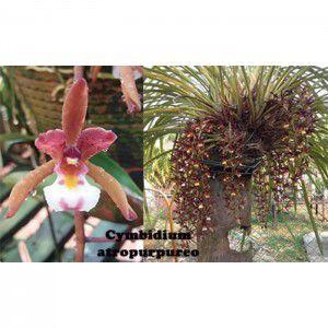 Muda de Orquíde Cymbidium atropurpureo