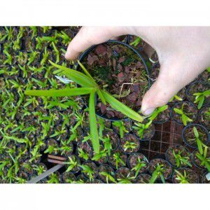 Muda de Orquídea Acampe papilosa