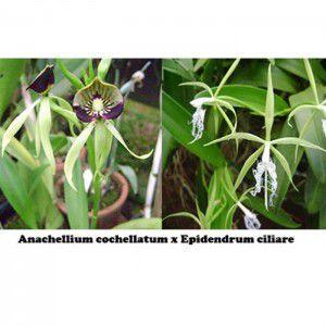Muda de Orquídea Anacheilium cochleatum x Epidendrum ciliare