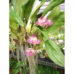 Muda de Orquídea Bifrenaria Tyrianthina