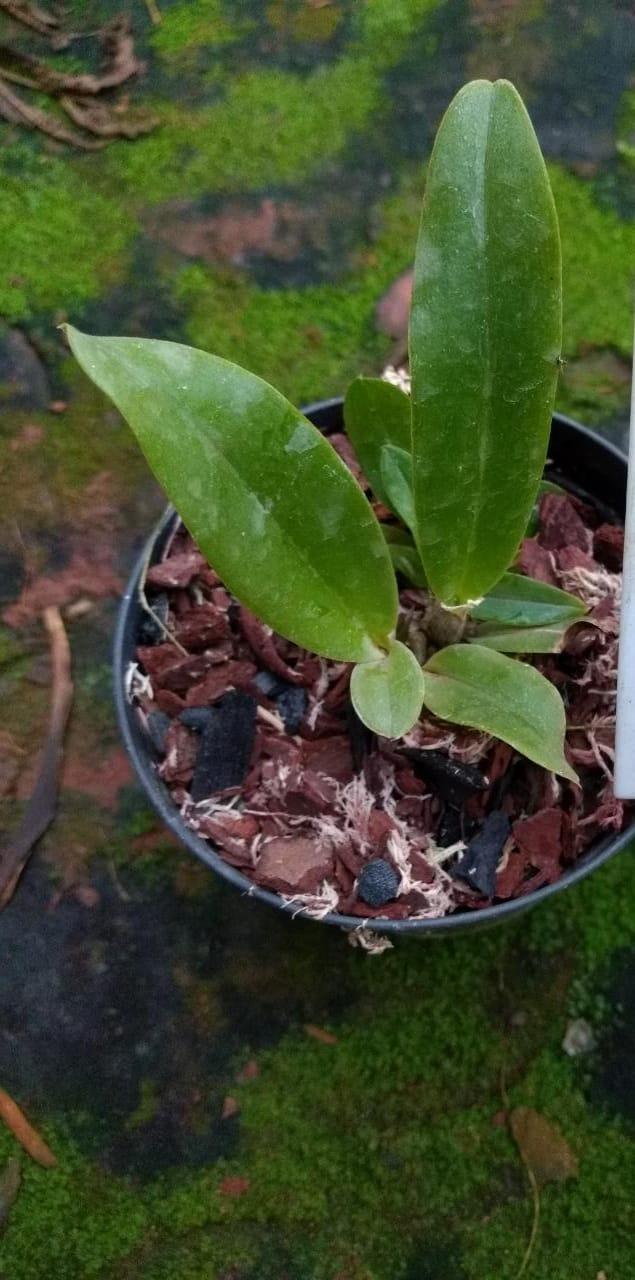 Muda de Orquídea Blc. Triumphal Coronation
