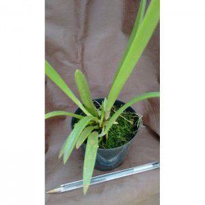 Muda de Orquídea Brassocattleya Tchutchuca