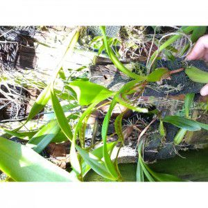 Muda de Orquídea Bulbophyllum falcatum