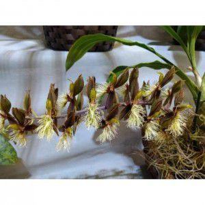 Muda de Orquídea Catasetum Barbatum