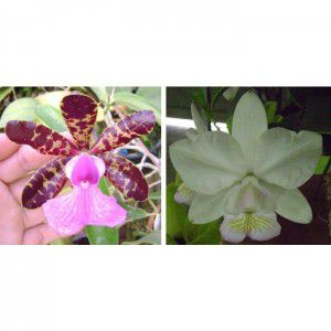 Muda de Orquídea Cattleya aclandiae x Cattleya nobilior