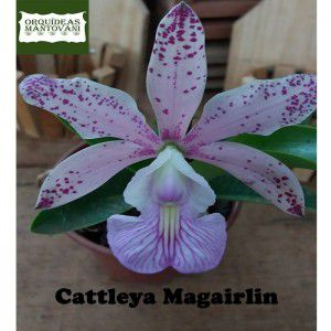 Muda de Orquídea Cattleya Magairlin