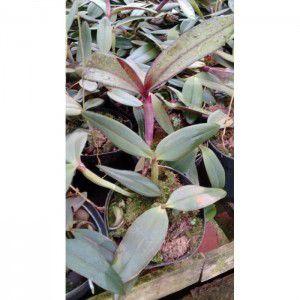 Muda de Orquídea Cattleya schilleriana