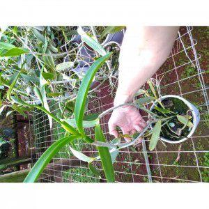 Muda de orquídea Cattleya Tigrina Coerulea