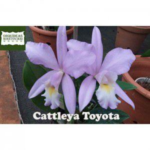Muda de Orquídea Cattleya Toyota