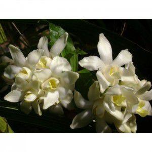 Muda de Orquídea Chysis bractensens