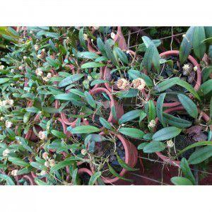 Muda de Orquídea Cirrhopetalum Sikkinense