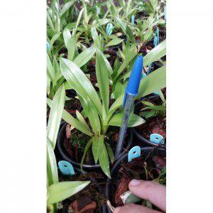 Muda de Orquídea Cocleanthes candida
