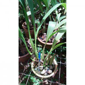 Muda de Orquídea Coelogyne lawrenciana