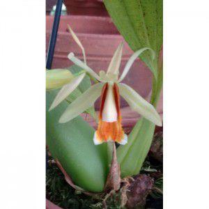 Muda de Orquídea Coelogyne taicia