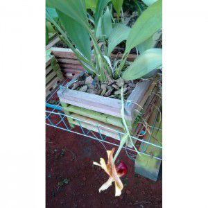 Muda de Orquídea  Coryhopea