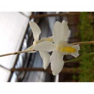 Muda de Orquídea Dendrobium crumenatum