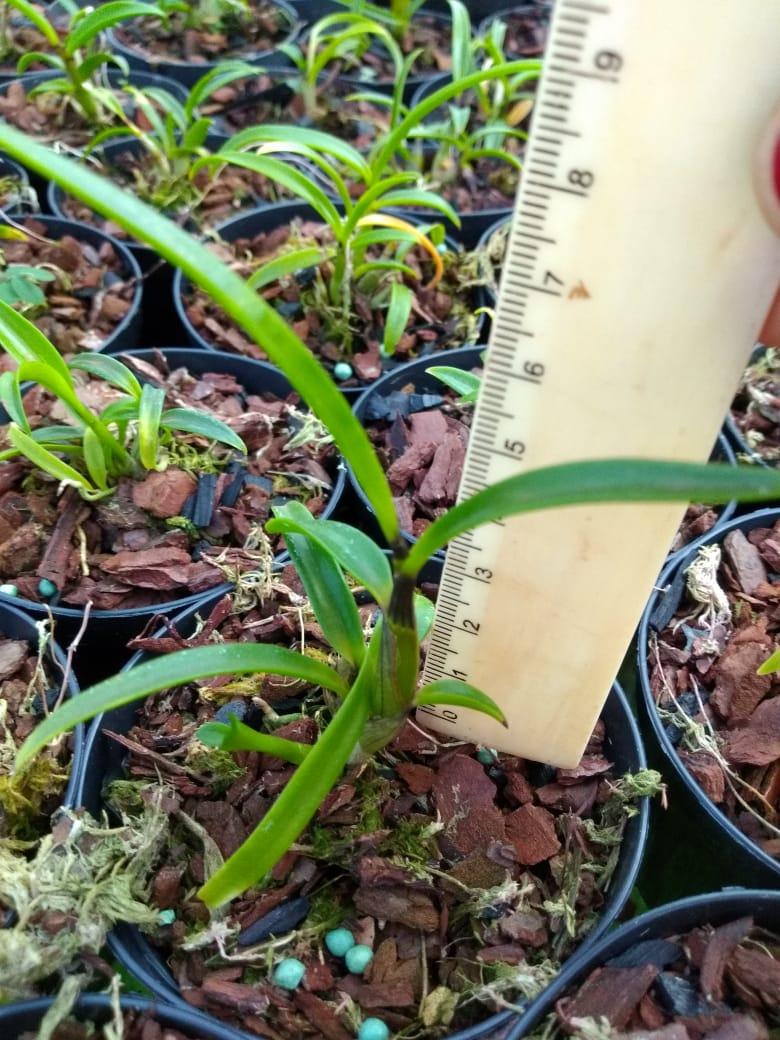 Muda de Orquídea Dendrobium Johannis Dark x self