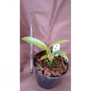 Muda de Orquídea Dendrobium thyrsiflorum x Dendrobium atropurpureo