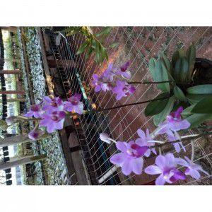 Muda de Orquídea Doritis pulcherrima variedade tipo