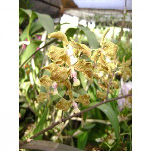Muda de Orquídea Encyclea fowliei