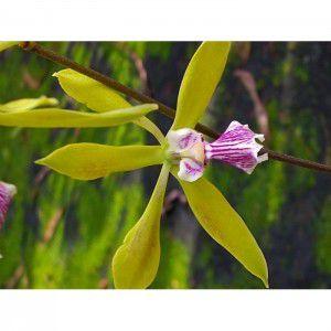 Muda de Orquídea Encyclia granitica
