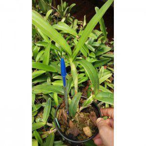 Muda de Orquídea Epidendrum ciliare