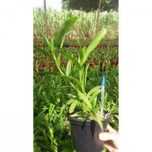 Muda de Orquídea Epidendrum schomburgkii