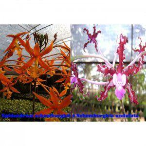 Muda de Orquídea Epidendrum schomburgkii x Schomburgkia undulata