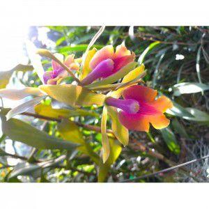 Muda de Orquídea  Epilaeliocattleya Ana