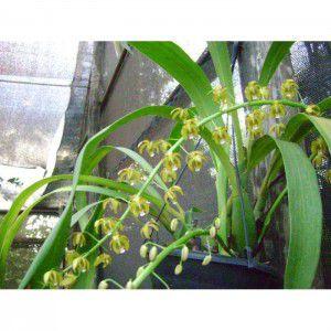 Muda de Orquídea Eriopsis spectrum