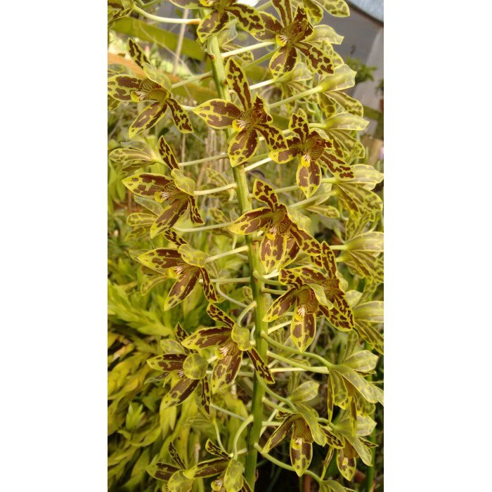 Muda de Orquídea Gramatophyllum Scriptum Jarde