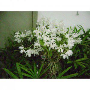Muda de Orquídea Guarianthe Patinii Alba