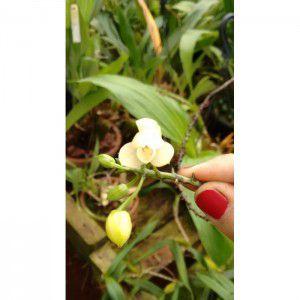 Muda de Orquídea Koellenstenia Amazonica
