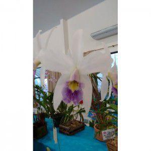 Muda de Orquídea Laelia anceps variedade coerulea