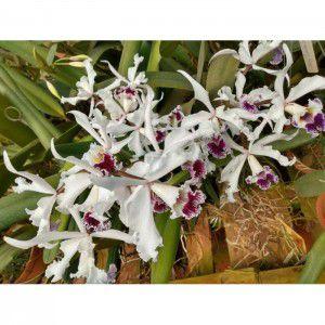 Muda de Orquídea Laelia Crispa