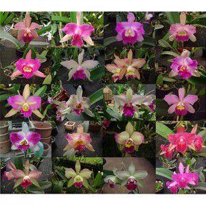"Muda de Orquídea Laelia purpurata ""Cereja"" x self"