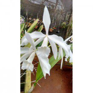 Muda de Orquídea Laelia purpurata variedade alba