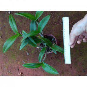 Muda de Orquídea Lc. Little Leopard x Rhyncholaelia digbyana