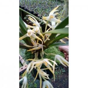 Muda de Orquídea Maxillaria Ochroleuca