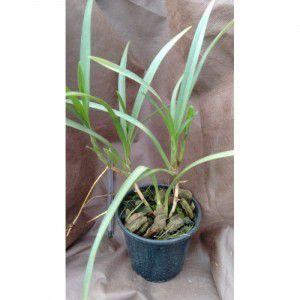 Muda de Orquídea Maxillaria robusta