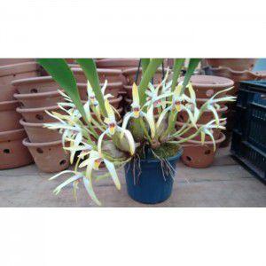 Muda de Orquídea Maxillaria setigera