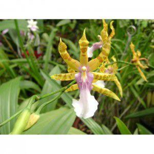 Muda de Orquídea Miltonia clowesii