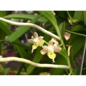 Muda de Orquídea Pelatanteria bicuspidata