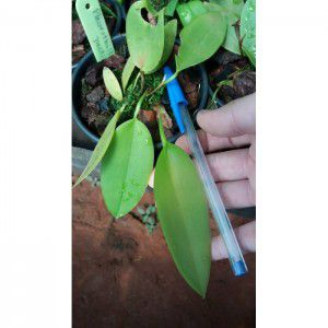 Muda de Orquídea Pleurothallis pectinata